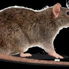 Disposing off a Dead Rat How To Do It Efficiently