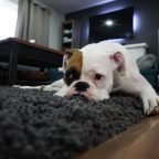 How to Get Rid of Fleas in the Carpet